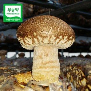 초정 무농약 송화고버섯(특대품)1kg
